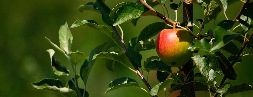 mele-antiche